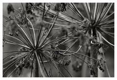 Among the Birches V (R. Drozda) Tags: fairbanks alaska home angelikalucida wildcelery bw monochrome seedhead dry stalk herb plant pattern drozda
