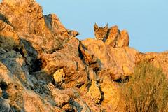 Bobcat (Lynx rufus) (rangerbatt) Tags: