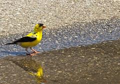 Yellow Finch.... Chardonneret Jaune (Bob (sideshow015)) Tags: finch p900 nikon mississauga ontario canada yellow chardonneret jaune birds reflection rflexion