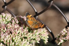 Pearl Crescent (ladybugdiscovery) Tags: pearl crescent butterfly insect garden fence sedem flower