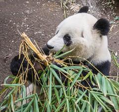 20160313 161924 (ec 92009) Tags: animal bear ca california flowers mammal panda sandiego usa zoo