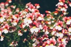 Mum's Garden 5 (katarzynaadamczyk) Tags: flower garden spring vintage canon canon550d sigma sigma1750 colours