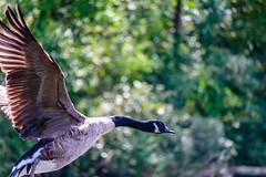 fly away (david_sharo) Tags: davidsharo nature wildlife northpark geese flight