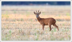 Chevreuil (guiguid45) Tags: nature sauvage animaux mammifres fort loiret fortdorlans d810 nikon 500mmf4 chevreuil brocard capreoluscapreolus roedeer ree