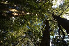 (nznatives) Tags: nz nznative bayofplentynz winter whataroa forestscene upshot
