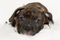 IMG_847512 (jeannetbijlsma) Tags: dogs dog pet puppy puppylove puppies baby sweet stafford englishstafford doglove photo photographer dogpicture