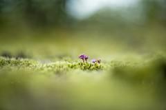 Meadows of moss (Franci Van der vyver (Carmen Tulum)) Tags: moss watermint watermintflower icelandicflora mossmeadow helios402