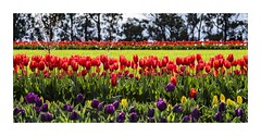 Rows of Red (red stilletto) Tags: tesselaartulipfestival tulip tulips red redtulips famousflickrfive