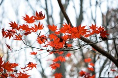 Autumn 2015- Muttontown Preserve (LauraJSwindle) Tags: foliage longisland ny plants 85mm botanical tree leaves fall autumn flora branches muttontownpreserve muttontown wantagh usa japanesemaple japanesemapleleaves 2015 reds cold nikond7100