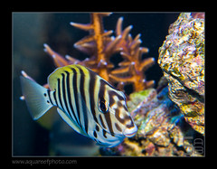 polyzona7937_260816 (kactusficus) Tags: reef aquarium captive fauna fish coral rcifal acanthuridae acanthurus polyzona zebra surgeonfish tang chirurgien zebre