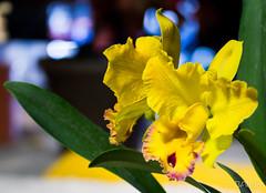 Orq Indep 2016 (23 of 178).jpg (ingbalfaro) Tags: aos oquideas orchid esencialcostarica americanorchidsociety costarica