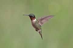 Ruby-throated Hummingbird (Alan Gutsell) Tags: birds alan wildlife nature texas coast birding migration rubythroated hummingbird rubythroatedhummingbird hum fly fast