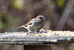 Sparrow (careth@2012) Tags: sparrow wildlife nature