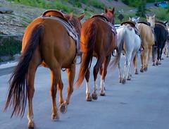 Southbound Horses, Glacier Nt'l Park (tvdflickr) Tags: equine horse horses saddle glaciernationalpark montana gnp glacier lumix lx100 panasonic lumixlx100 photosbythomasdriggers photobythomasdriggers tomdriggersphoto thomasdriggersphotography copyright