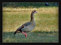 Spaziergang durch den Biebricher Schlosspark / Wiesbaden (karin_b1966) Tags: vogel bird tier animal gans geese natur nature schlossparkbiebrichwiesbaden 2016 nilgans yourbestoftoday
