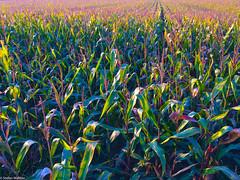 maize mosaic (picturesbywalther) Tags: colorsinourworld maize mosaic mais mosaik farben colors feld field nature agriculture landwirtschaft stilleben stilllife farmer frchte fruits agrokultur