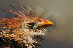 Fiery Feathers (FocusPocus Photography) Tags: guirakuckuck bird tier animal zoo heidelberg guiracuckoo vogel