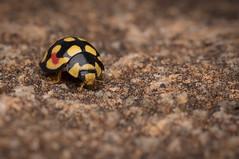 Lady on the rock (Ladybug) (Mika Andrianoelison) Tags: k3 madagascar macro bugs nature wildlife fauna animal insects predators hunters carnivorous taxonomy:family=coccinellidae ladybug closeup justpentax