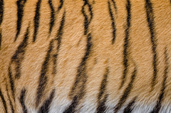 Tiger Stripes (Mathias Appel) Tags: tiger zoo tierpark deutschland germany animal cat katze feline sibirischer siberian panthera tigri predator carnivore animals tier tiere ussuritiger amurtiger tigris altaica fell fur pelz pelzig eyes eye pretty natural nature natur streifen stripes orange white green weiss weis grn    siberiese   tigre de sibrie tigresiberiano duisburg