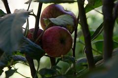 Colca (22 sur 90) (julius2084) Tags: giromondo llahuar perou canyondecolca fruit logement pomme trek