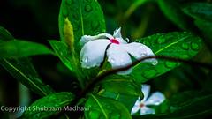 White flower (shubhammadhavi) Tags: flower white green nature jungle droplets droplet season colors leaf amazing pics wallpaper