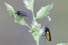Tuomaansski - Sciara thomae - Black Fungus Gnat (Henri Koskinen) Tags: sciara thomae black fungus gnat tuomaansski uutela helsinki finland 10072016