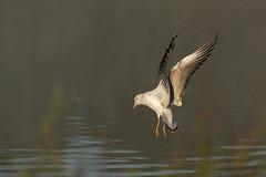 Black-headed-Gull-3125 (Kulama) Tags: blackheadedgull gull birds nature wildlife water flight canon7d sigma150600c563