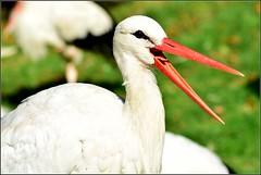 Bei den Strchen (Ulrike Sobisch) Tags: vogelpark walsrode niedersachsen vogelparkwalsrode storch strche