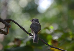 Tufted titmouse (Sarah Hina) Tags: tuftedtitmouse frombehind rear perching songbird
