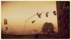 Pendura frxil dominando o horizonte. #Fragil as it is... (borneirana) Tags: fragil sunset dawn soledad sol colores colour colourful orange herba grass hierbas naturlandwirdschaft nature natur naturaleza paisaxe paisaje paisagem landwirtschaft landscapes detalle macro