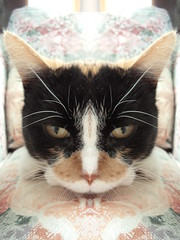 Autumn (universalcatfanatic) Tags: cats autumn tortoiseshell tortie calico orange black white cat mirror image one side face close up gold golden brown eyes eye yellow lay laying pink flower print chair livingroom living room green autumns whiskers whisker nose ears ear
