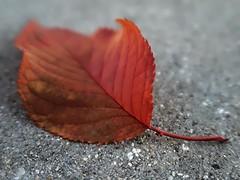 1 In Shades of Autumn (Mertonian) Tags: curvy shadesofautumn fall autumn mertonian robertcowlishaw canon powershot g7x mark ii canonpowershotg7xmarkii leaf forsophia red seasons beauty awe wonder ineffable veins