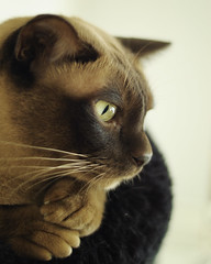 Planning Ahead (Dirigentens) Tags: portrait cat burma profile burmese profil katt figge portrtt greatphotographers elitephotographers mygearandme mygearandmepremium mygearandmebronze mygearandmesilver greaterphotographers sunofgodphotographer greatestphotographers ultimatephotographers rememberthatmomentlevel1