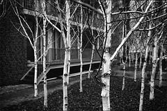 Birken (Christoph Schrief) Tags: bw film analog 35mm germany sw kodakbw400cn birches frankfurtammain sachsenhausen birken leicam4 deutschherrnufer plustekopticfilm7600 vcnoktonf1435sc