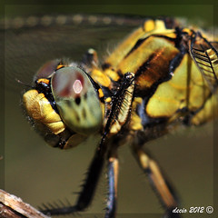 Libellula Gialla 3 (primo piano) (decio69) Tags: wild macro nature animals nikon dragonfly natura nikkor animali 2012 decio libellula d300 nikkor105 105vr gallerylibellule