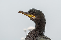European Shag (ReynirSk) Tags: bird nature birds canon iceland 7d fugl europeanshag phalacrocoraxaristotelis bolungarvk fuglar canonef70200mmf28l toppskarfur bolungarvkurhfn