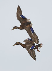 Mallards in Flight (Robert Horne Wildlife Photography) Tags: canon flight mallard mallards birdinflight paghamharbour