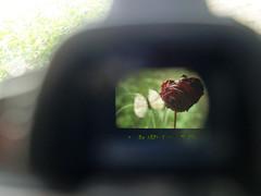 Ocular (glukorizon) Tags: camera red plant flower green animal rose butterfly insect grid nikon groen display roos number flare rood dier raster ocular fototoestel eyepiece vlinder viewfinder photocamera bloem odc fotocamera d90 getal zoeker oculair fotoapparatuur odc2 ourdailychallenge beginswitho