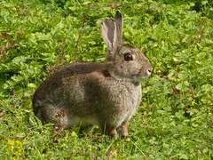 wild rabbit mammal hampshire winchester scrub britishwildlife lagomorpha leporidae europeanrabbit oryctolaguscuniculus chalkdownland geo:country=england taxonomy:binomial=oryctolaguscuniculus taxonomy:common=europeanrabbit whiteshuteridge dluogs geo:county=hampshire geo:region=europe