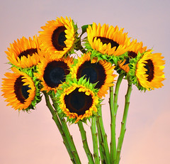 The Sunflowers of Summer (Bill Gracey) Tags: orange brown green nature yellow colorful flash sb600 sunflowers softbox gel tournesols girasoli strobes cutflowers sonnenblumen girasoles offcameraflash sb700 warmbackground