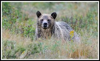 Oso Grizzly , Grizzly bear (Ursus arctos horribilis)