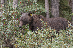 Grizzly Nº 134 (seryani) Tags: road wood trip viaje summer vacation naturaleza holiday canada nature animal animals america forest canon rockies outdoors oso cub nationalpark woods holidays árboles carretera outdoor wildlife august paisaje agosto bosque alberta verano northamerica banff animales rockymountains grizzly vacations vacaciones forests canadá 2012 brownbear extender 134 rocosas bosques grizzlybear canadianrockies parquenacional airelibre osos bowvalley canadianrockymountains bowvalleyparkway norteamérica animalessalvajes osopardo animalsalvaje montañasrocosas grizzlycub osogrizzly osospardos 1dmarkiv canadarockymountains canoneos1dmarkiv august2012 summer2012 montañasrocosasdecanadá extenderef2xiii verano2012 agosto2012 vacaciones2012 parquenacionaldebanff