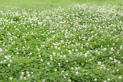 Clovers (bambooland) Tags: flowers plant green nature field japan canon tokyo clovers