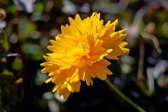Yellow Flower (DaveJC90) Tags: light shadow summer orange sun sunlight blur flower detail macro yellow closeup dark petals focus head background sunny sharp petal crop bud croped sharpness
