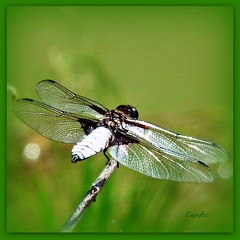 Dragonfly - Libelle (Cajaflez) Tags: france green glass insect wings dragonfly ngc libelle glas vleugels thegalaxy 100commentgroup coth5 mygearandme mygearandmepremium mygearandmebronze mygearandmesilver mygearandmegold rememberthatmomentlevel1 rememberthatmomentlevel2