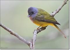 Grey headed Canary flycatcher (Gurusan2010) Tags: greyheadedcanaryflycatcher culicicapaceylonensis