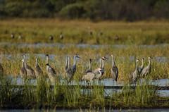 Sixteen Cranes_1922.jpg (Mully410 * Images) Tags: bird birds wisconsin crane birding birdwatching birder sandhillcrane crex crexmeadows burdr