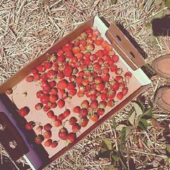(annafooda) Tags: life strawberry pickin