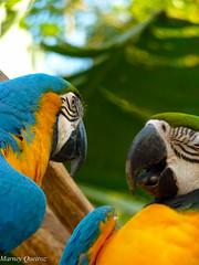 Arara-canind (Marney Queiroz) Tags: parque cores do flor aves borboleta das cor foz iguacu arara queiroz beija marney panasonicfz35 marneyqueiroz