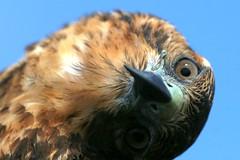 Galapagos Hawk (Buteo galapagoensis) (Dave 2x) Tags: ecuador hawk galapagos raptor endemic galapagosislands galapagoshawk buteogalapagoensis daveirving httpwwwdaveirvingwildlifephotographycom